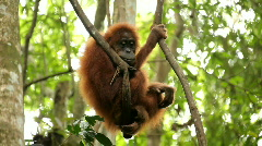 Young wild orangutan Stock Footage
