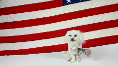 American Pride Dog Sits In Front Of Stars And Stripes Holds Small Waving Flag Stock Footage