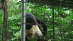 monkey in a zoo exhibition - stock footage