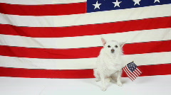 American Dog Proudly Sits In Front of American Flag - stock footage