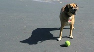 Stock Video Footage of Dog Barking at Tennis Ball