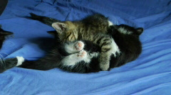 3 cats fighting on a bed Stock Footage