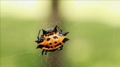 Spiny backed spider front view Stock Footage