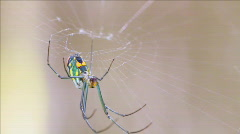 Orchard orbweaver spider underside closeup Stock Footage
