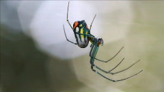 Orchard orbweaver spider closeup Stock Footage
