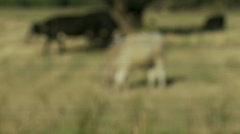 Rack focus, cattle graze in field Stock Footage