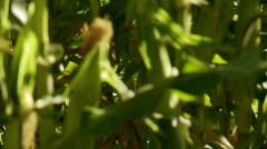 Rack focus, close up of corn cob with sunlight and a slight breeze - stock footage