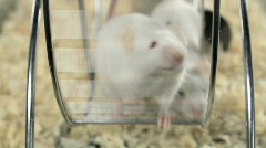 Mouse on a Treadmill - Lab Mice Running on Wheel Science Pets Rats Rodents - stock footage