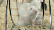Mouse on a Treadmill - Lab Mice Running on Wheel Science Pets Rats Rodents Stock Footage
