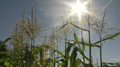 Close up corn with sun flare, slight breeze Stock Footage