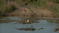 Waterfowl in Marsh 02 - stock footage