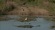 Waterfowl in Marsh 02 Stock Footage