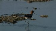 Waterfowl in Marsh 03 Stock Footage