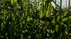 Corn to sun flare Stock Footage
