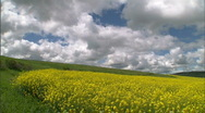Rapeseed Canola Flower Field 01 Stock Footage