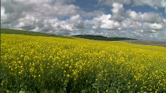 Rapeseed Canola Flower Field 02 Stock Footage