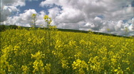 Rapeseed Canola Flower Field 04 Stock Footage