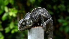 Common Chameleon - Chamaeleo chamaeleon, lizard Stock Footage