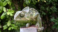 Stock Video Footage of Common Chameleon, Chamaeleo chamaeleon, lizard