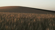 Stock Video Footage of Ripe Golden Wheat Field Sunset 133
