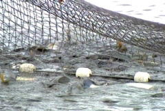 Fishing Net Full Of Fish Stock Footage