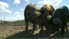 Organic pigs Stock Footage