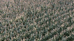 Maize field aerial footage / flyover Stock Footage