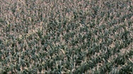 Stock Video Footage of Maize field aerial footage / flyover