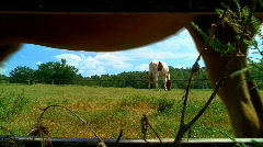 Pinto grazing and horse tail Stock Footage