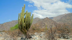 Cardon Cactus Stock Footage