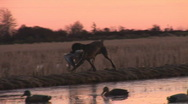 Stock Video Footage of Duck Hunting Dog