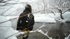 Golden eagle, winter - stock footage