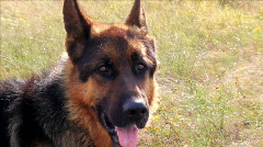 German Shepherd Dog Stock Footage