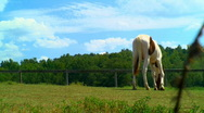 Pinto yearling grazing Stock Footage