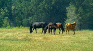 Horses grazing 02 Stock Footage