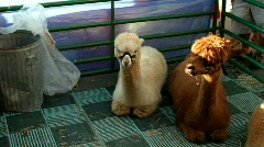 Alpaca sitting in Cage Stock Footage
