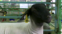 4H sheep at county fair Stock Footage