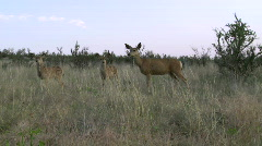Mule deer fawns with doe Stock Footage