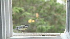 Small tit on a open window Stock Footage