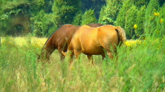 Horses grazing 03 Stock Footage