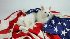 Dogs Guard American Flag Fall Asleep On Job  Lapse Stock Footage