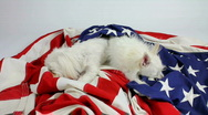 Stock Video Footage of Dogs Guard American Flag