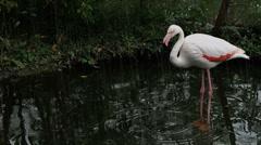 White flamingo on the rain Stock Footage