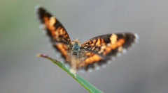 Painted Lady  Butterfly (Vanessa cardui) dance Stock Footage
