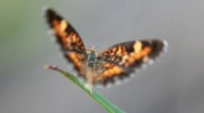 Stock Video Footage of Painted Lady  Butterfly (Vanessa cardui) dance