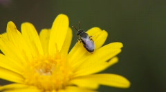 Tiny Bee on Yellow Flower Stock Footage