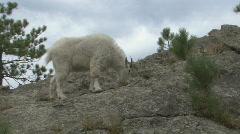 P01211 Mountain Goat Billie on Rock Stock Footage