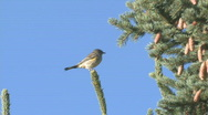 P01214 Warbler on Spruce Tree Stock Footage