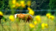 Horses and yellow flowers Stock Footage