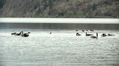 Canadian Geese preening Feathers on Lake Stock Footage